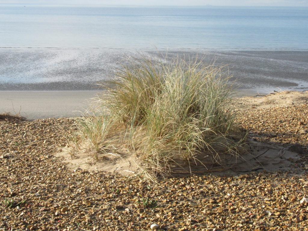 Une touffe d'oyats s'est implantée sur la dune. Dans le fond, la marée descendante scintille.