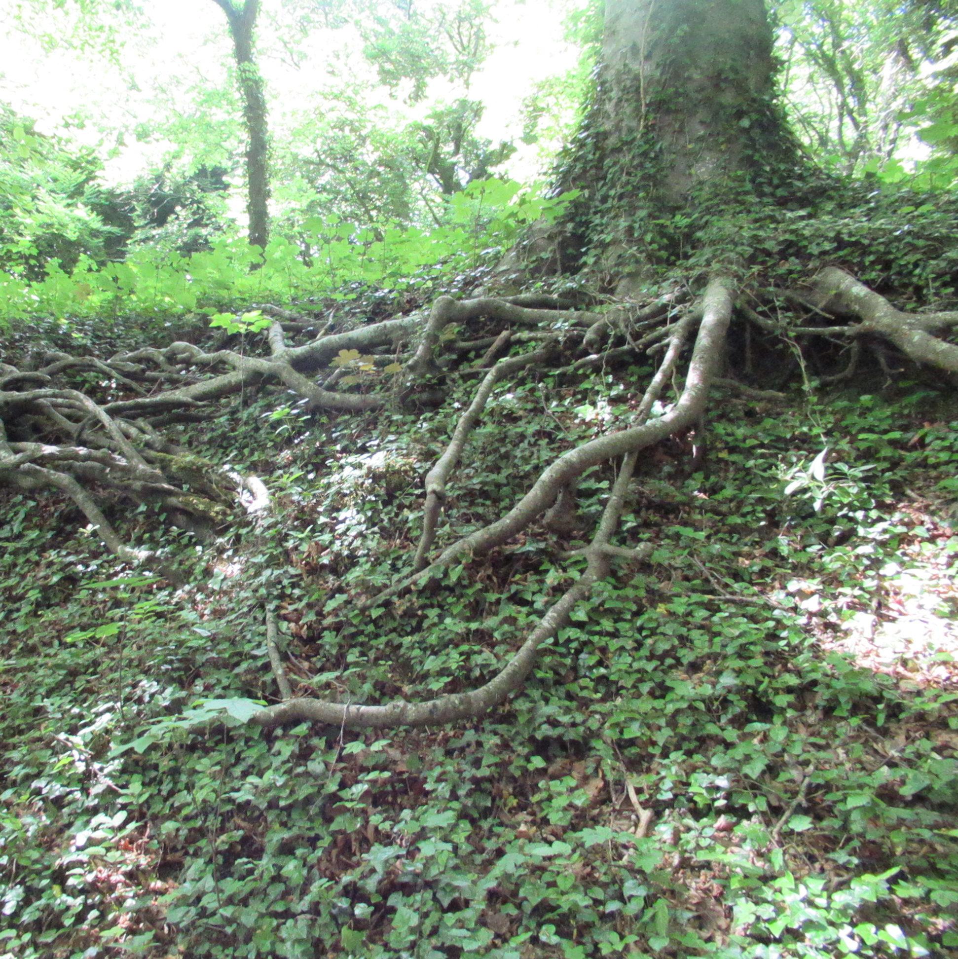 Un hêtre expose son réseau de racines argentées.