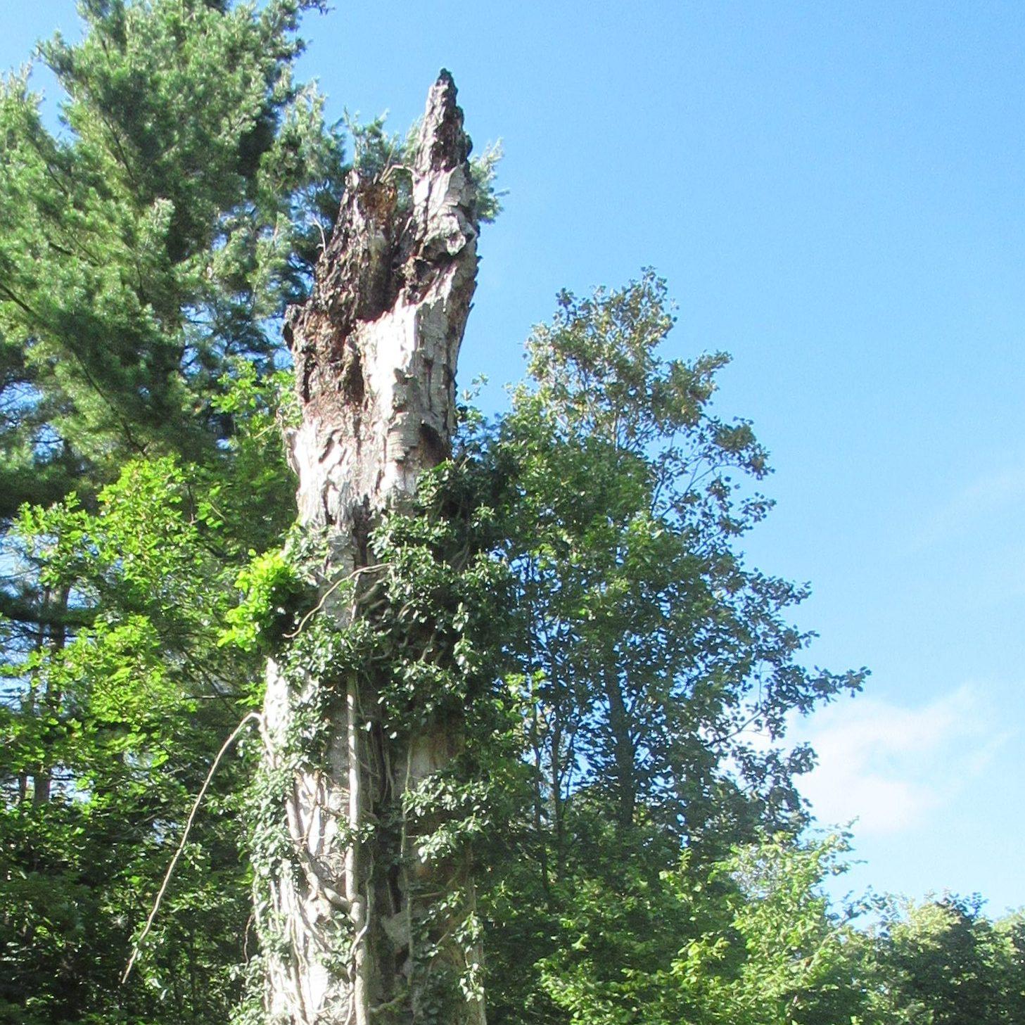 Une chandelle s'élance vers le ciel ensoleillé : il s'agit d'un arbre mort, toujours vertical.